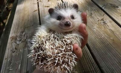 happy-little-smiling-hedgehog-big