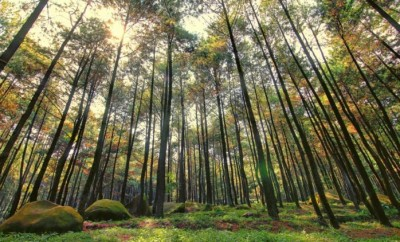 hutan pinus 1